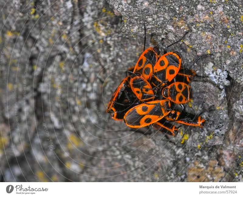 Nature Tree Animal Multiple Insect Accumulation Furrow Tree bark Heap Bond Bug Firebug Elytron