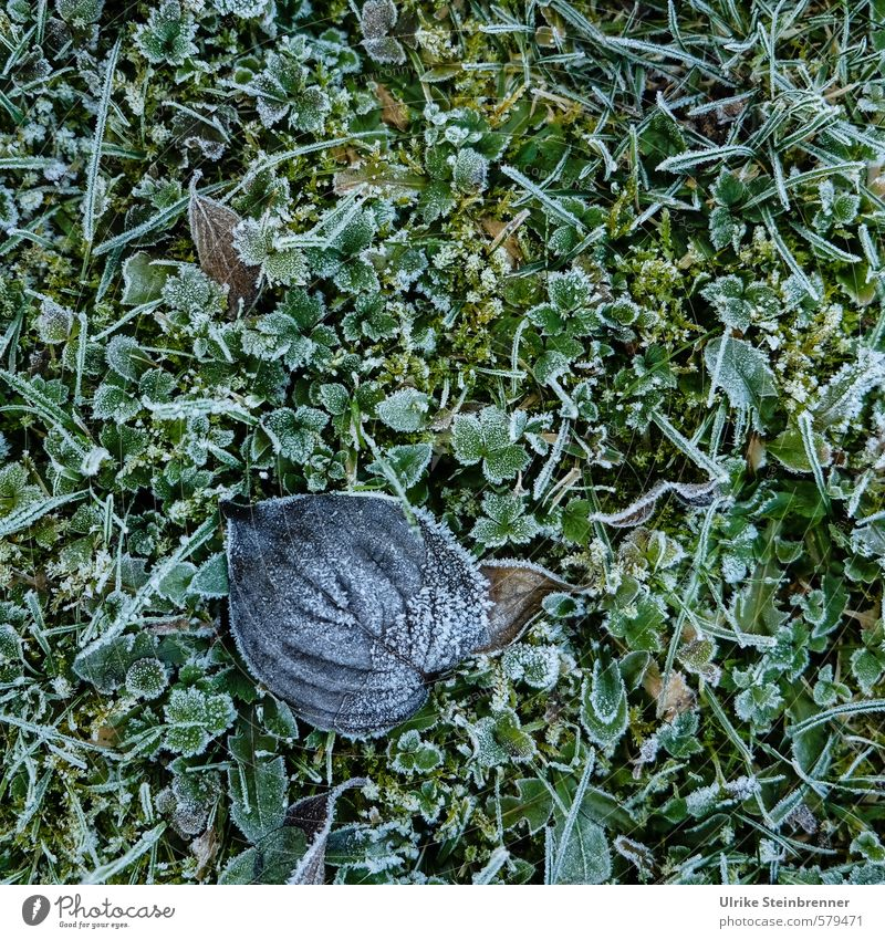 Gentle winter Nature Plant Winter Bad weather Ice Frost Grass Moss Leaf Garden Park Meadow Freeze Lie Glittering Cold Wet Natural Dry Green Transience Change