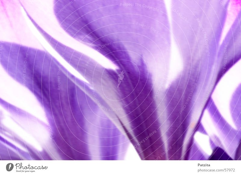 Spring at the edge of the forest 4 Crocus Flower Color gradient Background picture Violet
