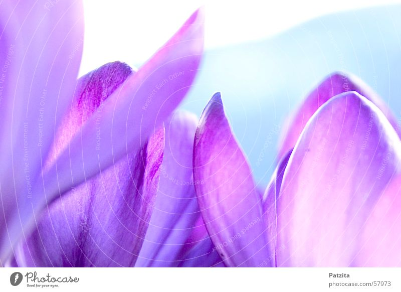 Spring at the edge of the forest 3 Crocus Flower Color gradient Background picture Violet