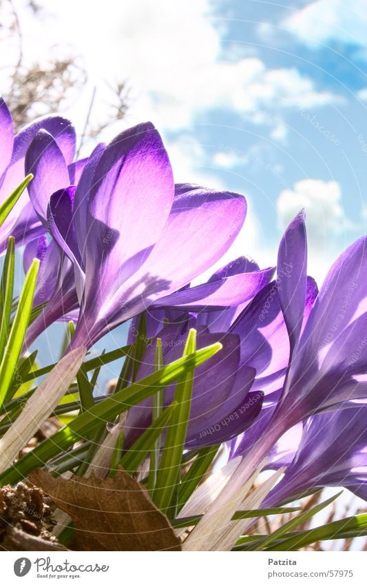 Spring at the edge of the forest 1 Crocus Flower Color gradient Background picture Violet