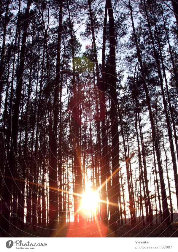 Central star and trees Forest Tree Treetop Sunset Twilight Coniferous forest Back-light Sky Branch Star (Symbol) Pine Orange Blue Lausitz forest Stars Tilt