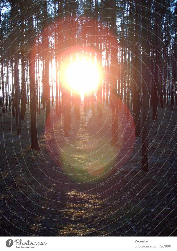 Sky Tree Sun Blue Forest Meadow Grass Orange Circle Treetop Pine Undergrowth Coniferous forest Corona Lausitz forest