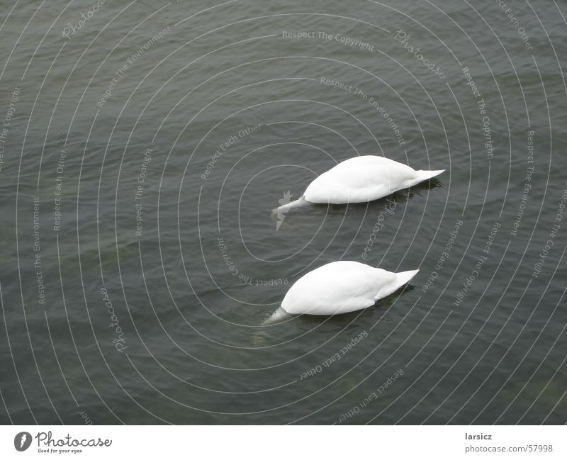 Water Summer Ocean Coast 2 Bird Pair of animals In pairs Baltic Sea Neck To feed Float in the water Swan Kühlungsborn