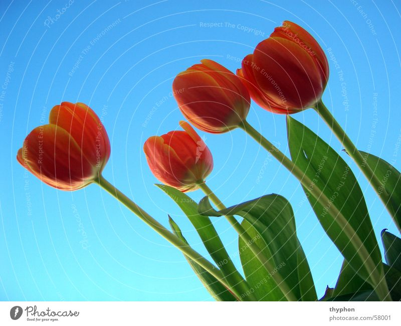 Sky Flower Green Blue Red Blossom Spring 4 Bouquet Tulip