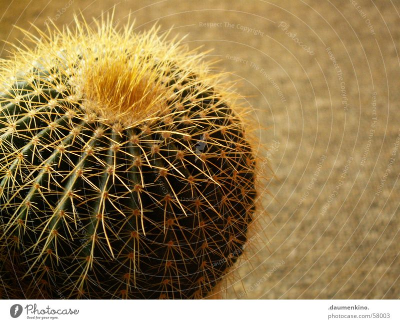 Water Green Plant Yellow Dangerous Floor covering Carpet Cactus Thorn Thorny