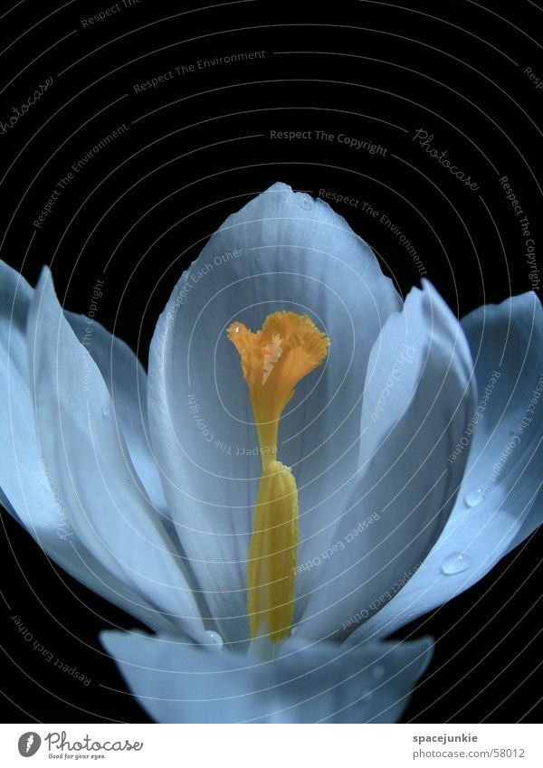 Water White Black Yellow Blossom Drops of water Fingers Pistil Blossom leave Crocus