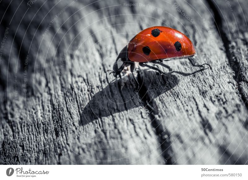 Macro ladybug - Ladybug in Macro Zoo Animal Beetle 1 Wood Running Simple Cold Red Black White Patient Calm Salzburg Colour photo Subdued colour