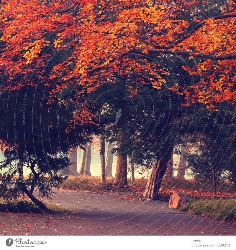 fiery Autumn Weather Fog Tree Park Lanes & trails Old Large Cold Brown Green Orange Red Romance Caution Calm Idyll Colour photo Exterior shot Deserted Day