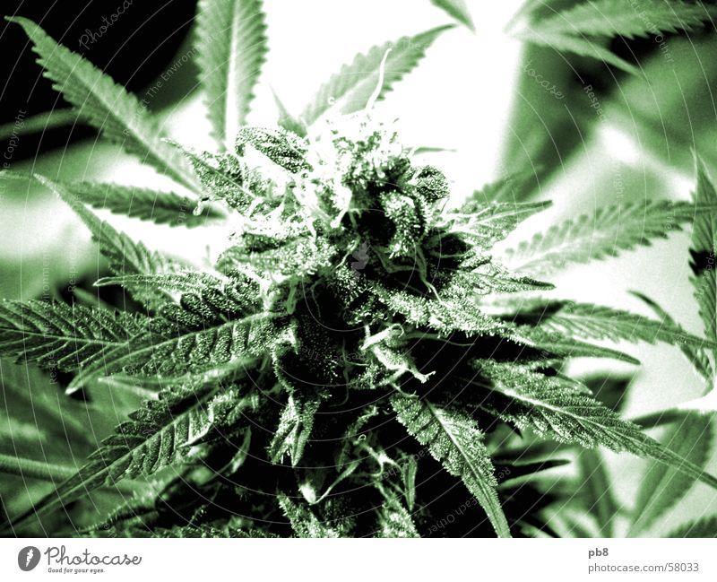 Green Plant Leaf Blossom Cannabis
