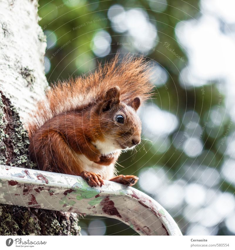 Sitting Squirrel Nature Animal Summer Beautiful weather Tree Forest Wild animal 1 Cute Brown Green Serene Relaxation Contentment Blur Ladder Colour photo