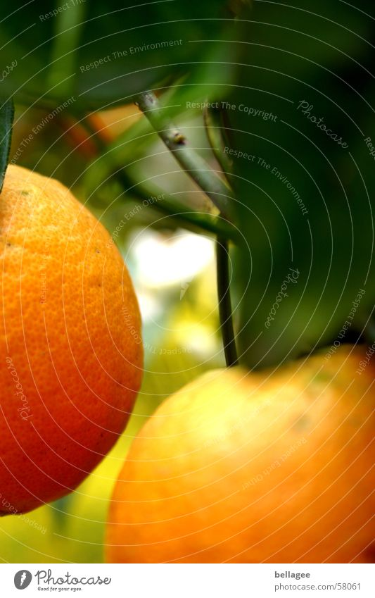 2 oranges are very close to each other Orange Tree Leaf Green Yellow Frontal Hang Blur Brown Delicious Branch Fruit Exterior shot Partially visible