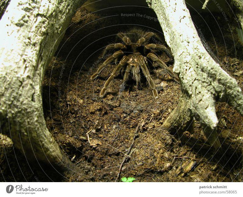 Fie Spider Bird-eating spider Disgust Animal Fear
