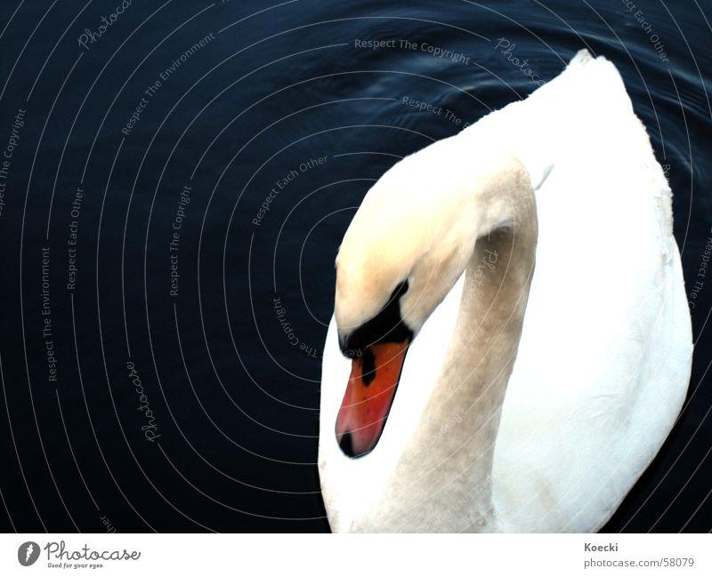 Water White Winter Dark Lake Swimming & Bathing River Float in the water Swan Timidity Spree Bird 'flu