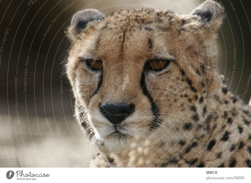 Animal Cat Wild animal Big cat Cheetah Polka dot