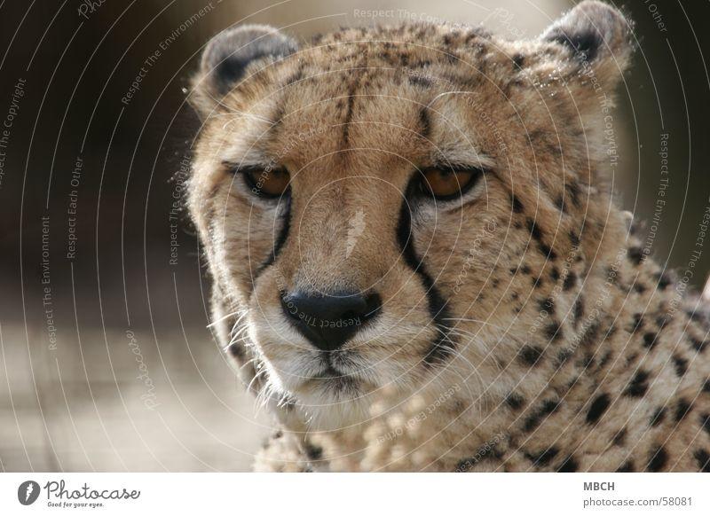 tired Cheetah Polka dot Cat Animal Big cat Close-up Wild animal Looking