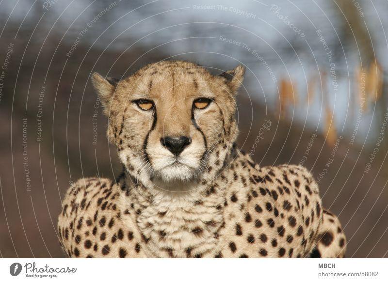 It dazzles Cheetah Dazzle Polka dot Cat Animal Big cat Sun Wild animal protrait Looking Patch