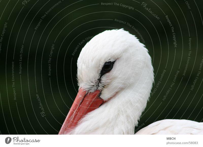shy Stork Beak White Animal Close-up Looking Eyes