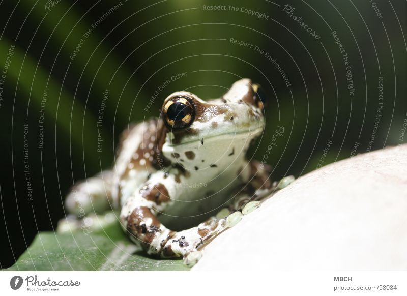 Animal Frog Dappled Suction pad