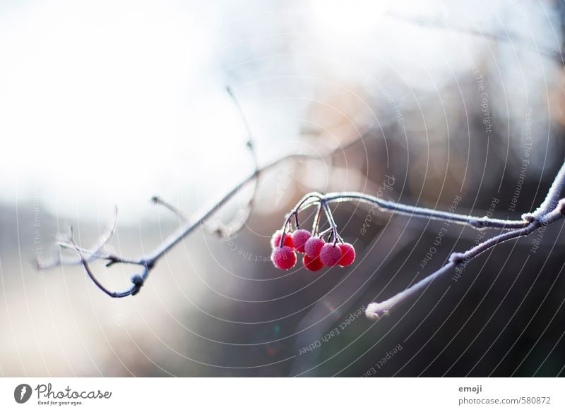 icily Environment Nature Plant Winter Ice Frost Bushes Cold Natural Red Berries Rawanberry Colour photo Exterior shot Close-up Deserted Day