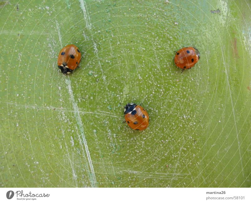 three smart beetles Ladybird Red Green 3 Contrast Insect Scratch mark Crawl Small Animal Beetle Macro (Extreme close-up) Close-up Point Structures and shapes