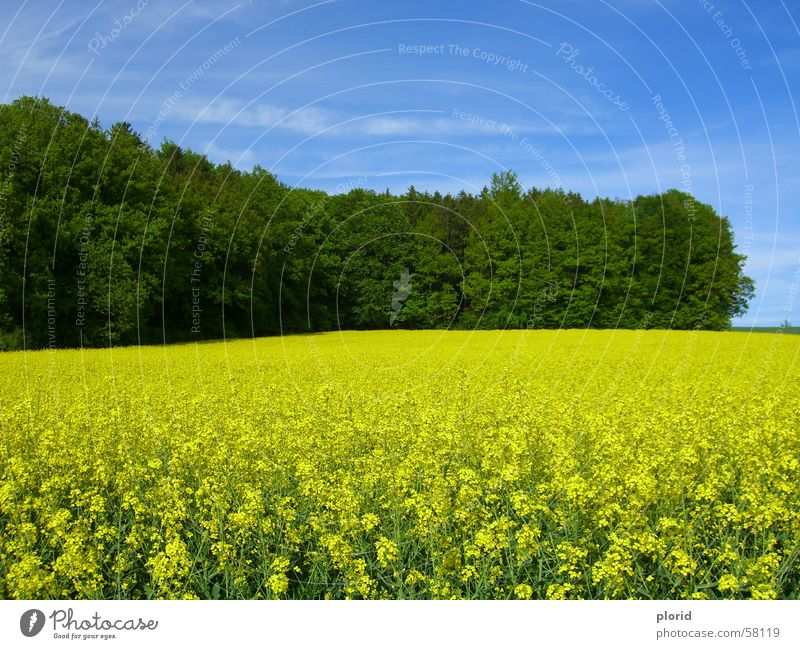 Yellow Flowers Under The Blue Sky Bad weather Clouds Smear White Edge of the forest Green Dark green Forest Blossoming Meadow Consistent Field Summer