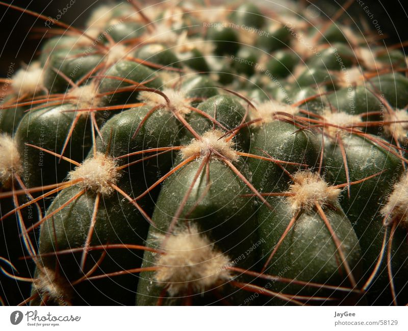 Nature Old Green Plant Calm Yellow Life Protection Transience Still Life Aggression Cactus Thorn Thorn Fruity Absorbent cotton
