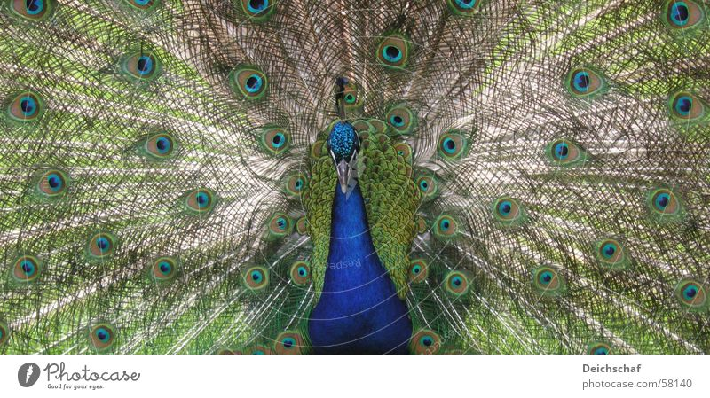 The Peacock Animal Bird Beak Landscape format Green Feather Detail Blue Peacock feather