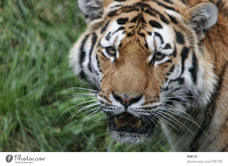 Leave me alone! Tiger Animal Cat Big cat Threaten Wild animal stripe pattern Looking agressive