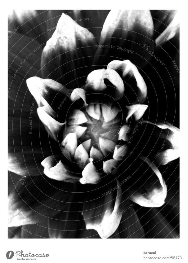Untitled Flower Blossom Black White Nature