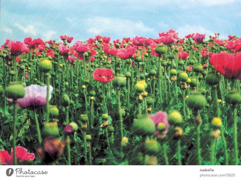 poppy field Poppy Field Meadow Flower