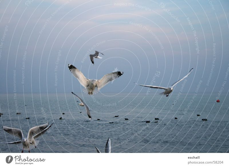 Flight Artists I Colour photo Subdued colour Exterior shot Twilight Nature Water Sky Ocean Lake Bird Flying Esthetic Speed Blue Gray Flexible Freedom Seagull