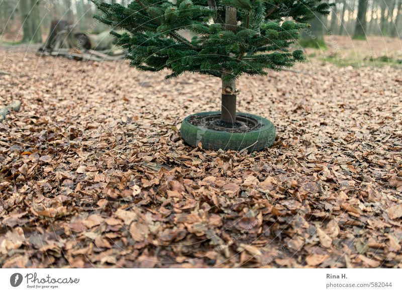 Nature Christmas & Advent Tree Landscape Leaf Winter Forest Environment Wait Authentic Christmas tree Tradition Anticipation Preparation Car tire Beech leaf