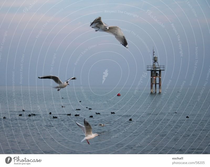 Flight Artists II Colour photo Subdued colour Exterior shot Twilight Freedom Ocean Nature Animal Water Sky Lake Bird Flying Speed Blue Gray Flexible Seagull