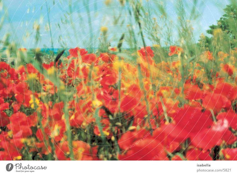 wild poppy Poppy Flower Meadow