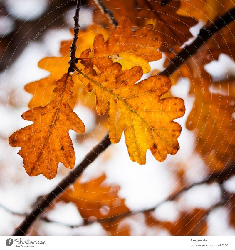 Autumn Oak Leaves Nature Colour Tree Leaf Moody Orange Branch Vignetting Oak tree Oak leaf