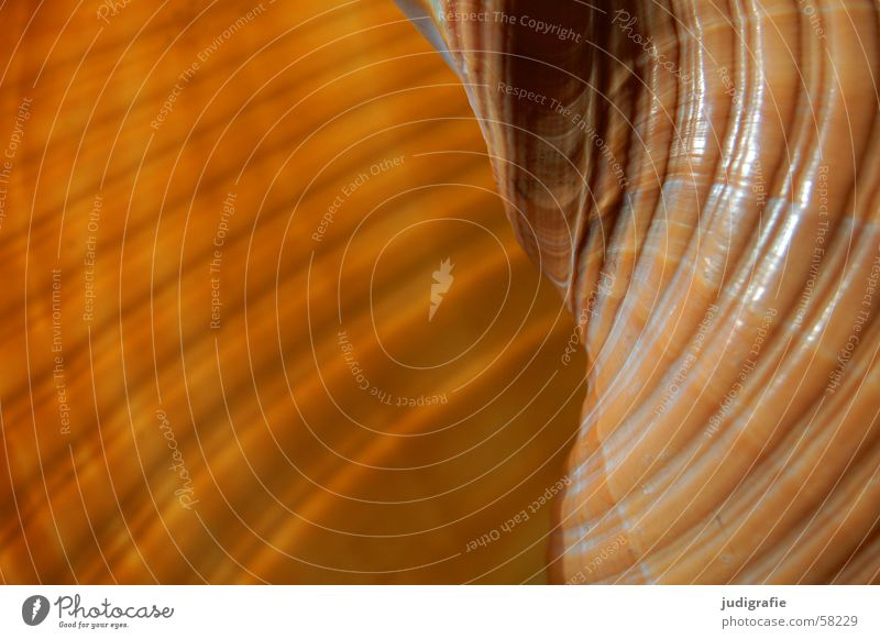 Twisted Bobbin Ton snail Snail shell Mussel Ocean Brown Yellow Black House (Residential Structure) Safety (feeling of) Spiral Rotated Harmonious Atlantic Ocean