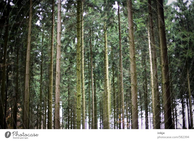 dark forest Environment Nature Autumn Tree Tree trunk Forest Coniferous forest Stand Growth Tall Long Brown Green Emotions Narrow Side by side Parallel