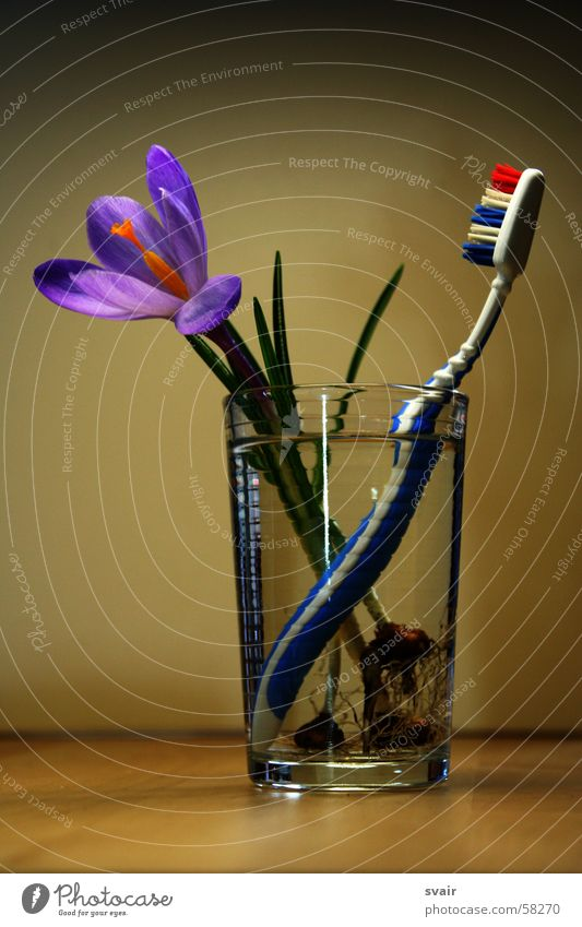 spring cleaning Crocus Spring Flower Violet Toothbrush Dental care Glass Clean Personal hygiene