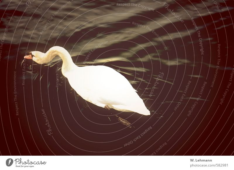 swan Nature Water Animal Wild animal Swan 1 Black Colour photo Subdued colour Exterior shot Experimental Lomography Deserted Day Blur Bird's-eye view