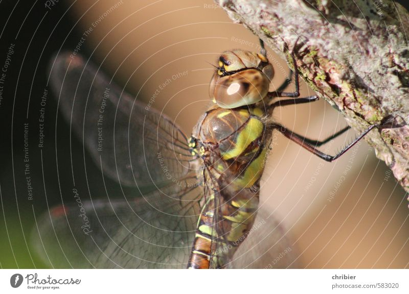 libella Animal Dragonfly Compound eye Dragonfly wing 1 Hang Sit Brown Green Delicate Transparent Colour photo Exterior shot Close-up Copy Space left