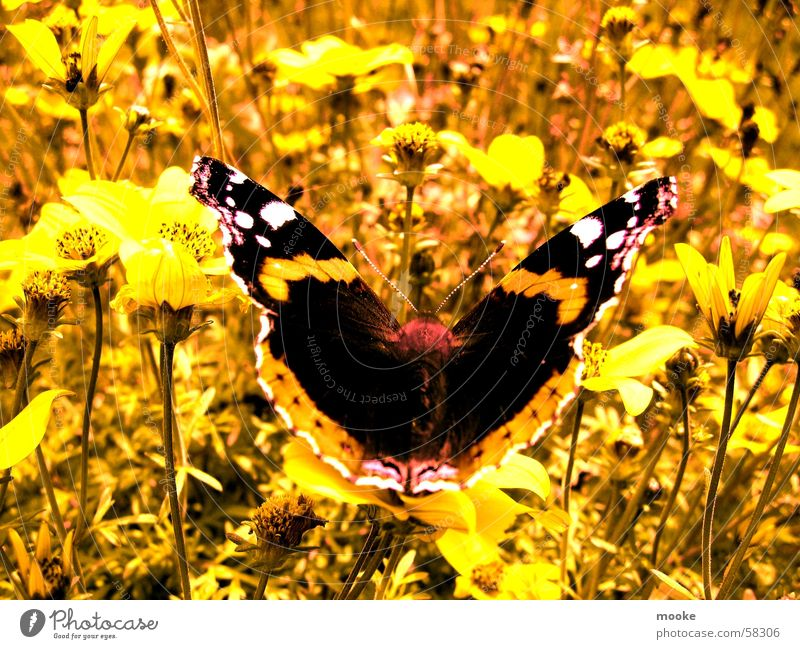 Nature Summer Yellow Meadow Spring Butterfly