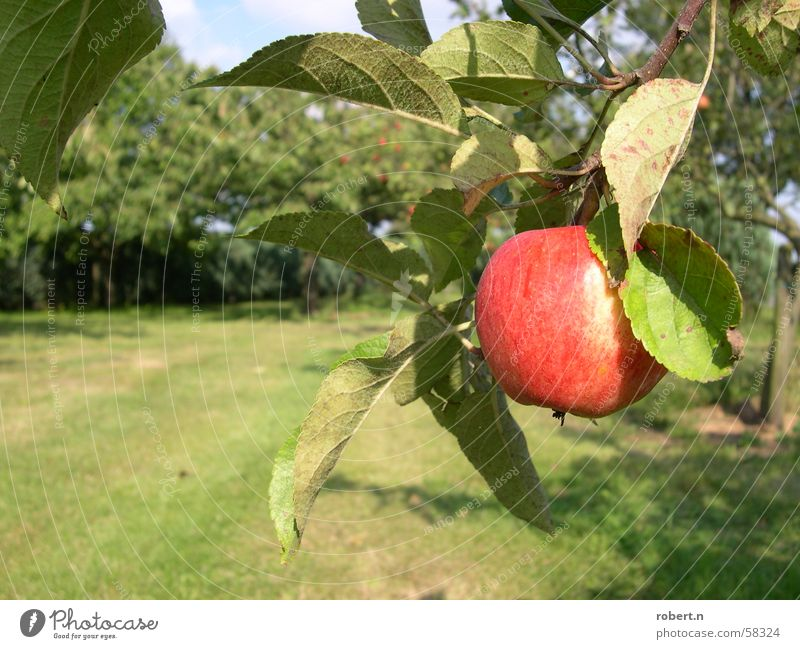 Tree Garden Fruit Apple Apple tree Fruit garden