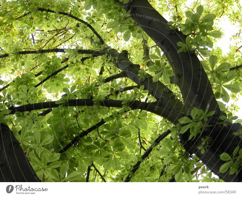 View upwards Green Tree Summer Café Chestnut tree Shadow luise