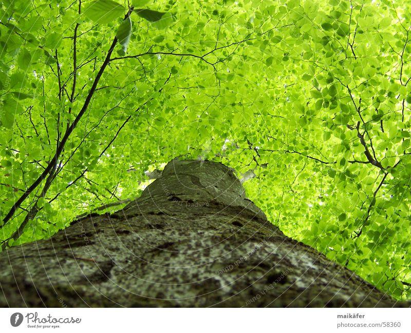 High up Green Tree Tree trunk Leaf Beech tree Spring Summer Light Shadow