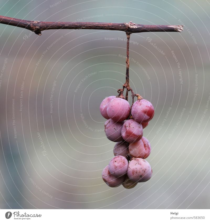 Expiration date exceeded | Spätlese Food Fruit Bunch of grapes Nutrition Organic produce Vegetarian diet Environment Plant Winter Agricultural crop Vine Garden