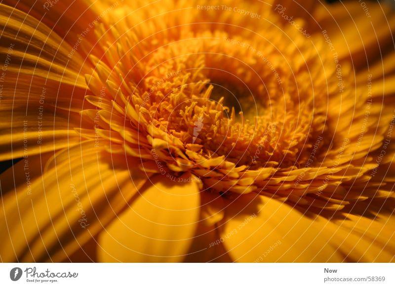Energy Flower Gerbera Yellow Light Spring Summer Sun Nature Plant