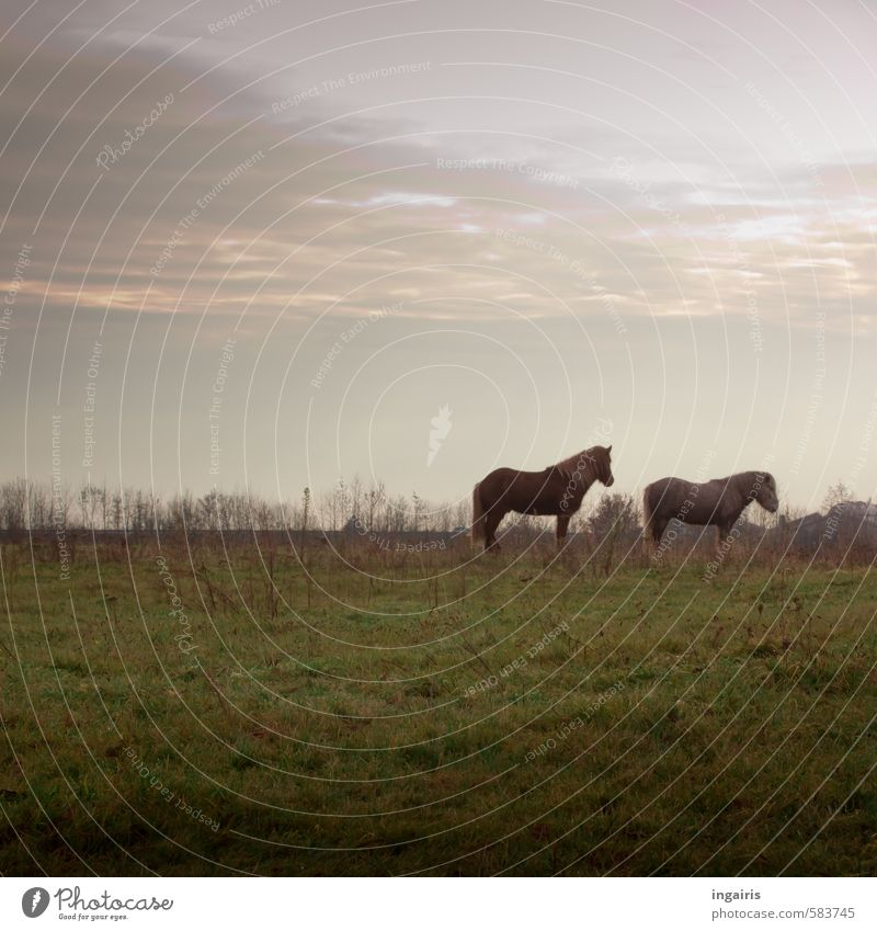 Waiting for the first snow Nature Landscape Sky Clouds Horizon Autumn Winter Plant Grass Meadow Field Pasture Animal Farm animal Horse Iceland Pony 2 Observe