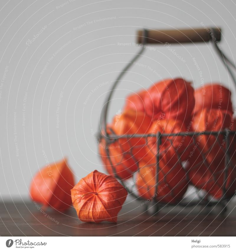 autumnal decoration... Plant Autumn Chinese lantern flower Fruit Physalis Decoration Basket Wire basket Lie Stand To dry up Living or residing Esthetic