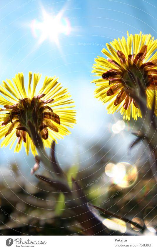 sun worshippers Flower Yellow Grass Meadow flower Forest flower Coltsfoot Green Spring Sky Sun Glittering Blue